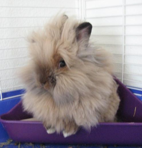 A Lionhead rabbit