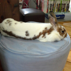 Bunny rabbit has made his bed on a chair in the house.