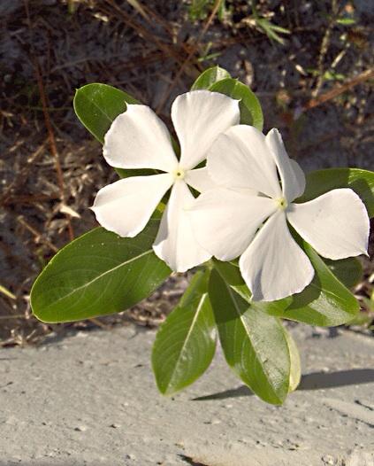 A white Madagascar periwinkle flower