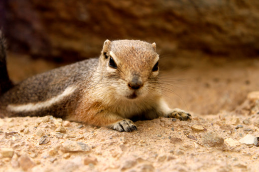 Hey!  I'm an antelope squirrel!