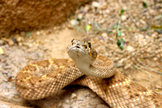 Kiss me, my lovely … a rattlesnake puckers up.