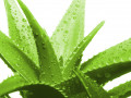 Aloe Vera 'The Plant Of Immortality' History Origin and Composition