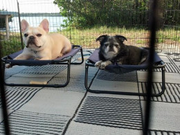 Teddy and Roc (Brussels Griffon) in their exercise pen. With cots, of course!