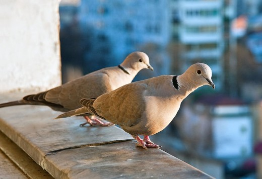 The collared dove was unheard of in Britain before the 1950s. Now it's one of our commonest bird species.