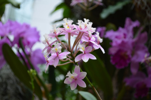 Lovely little purple and white orchids - Epidendrum Princess Valley - Orchidaceae.