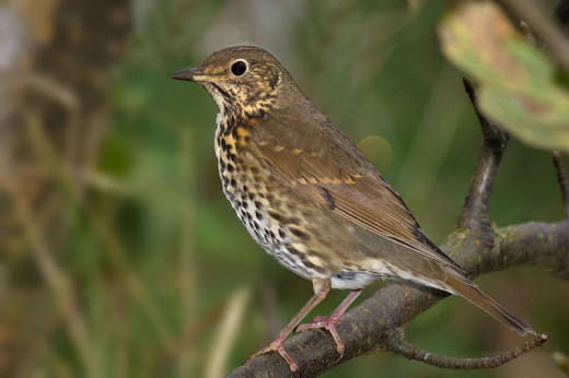 Song thrushes get up early, and are one of the first contributors to the dawn chorus.