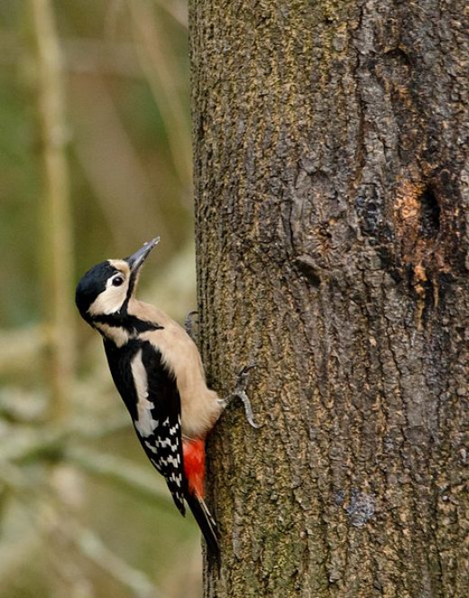 Many people think that the great spotted woodpecker's rapid drumming sound is made by the bird excavating a hole: in fact, it's purely to sound a territorial beat, equivalent to a song.