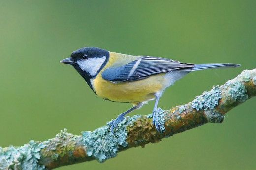 Studies of great tit behaviour at dawn have given us a few clues, as to why birds engage in a dawn chorus.