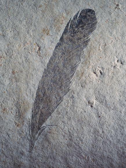 Melanosome-bearing Archaeopteryx feather.