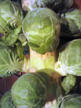 Brussels sprouts on the stem