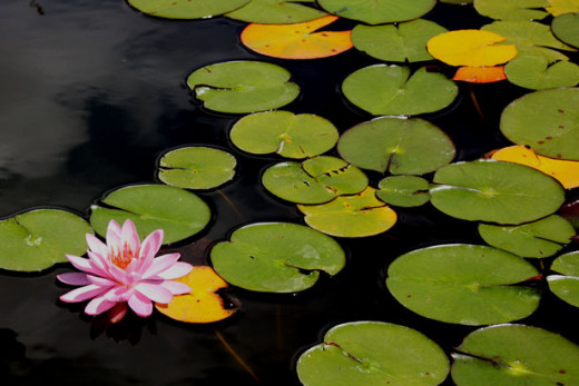 a pink flower blooming in water.