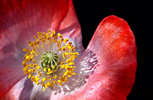 A poppy flower with yellow anthers