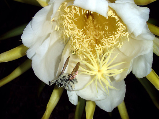 A carpenter bee with pollen from night-blooming cereus