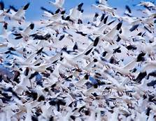 Clouds of Snow Geese
