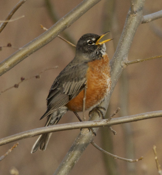 "American Robin ""A Song in My Heart"""