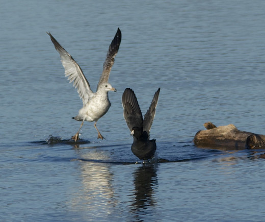 Ring-billed Gull(left) frightens American Coot(right)
