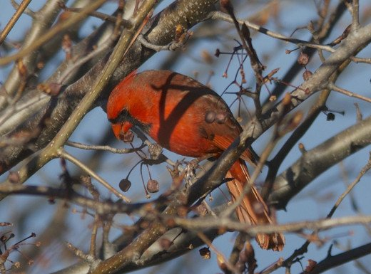 Northern Cardinal Breakfasting