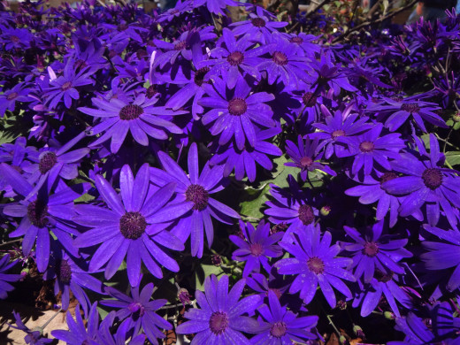 Senetti Pericallis Deep Blue