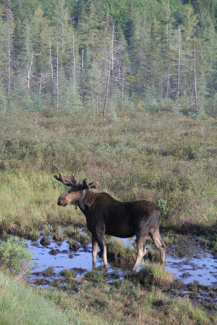 Over a million people travel to Algonquin Provincial Park each year. During the spring and late summer months, moose grazing along the side of the highway is a common site in Algonquin Park.