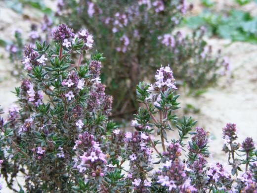 Thyme (Thymus vulgaris L.)