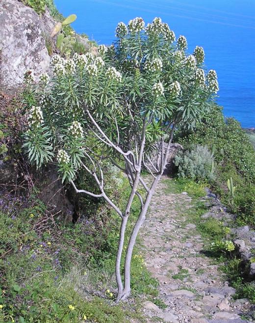 Echium giganteum in Barranco de Ruiz