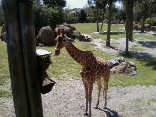 This gentle giraffe heads for a feeding bin filled with freshly cut wax myrtle twigs. Zoo visitors can hand feed the giraffes from the overlook.