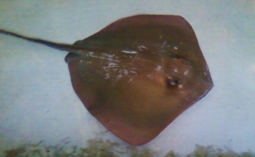 A large stingray at Stingray Bay has its barbs clipped periodically so visitors can safely pet them.