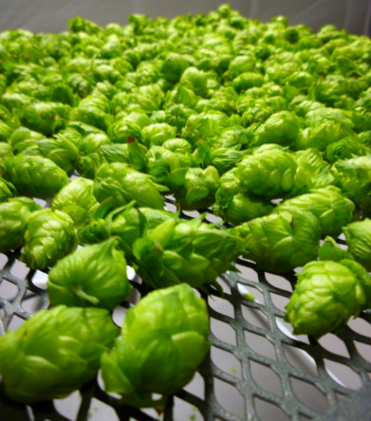 Hops drying on a well ventilated metal screen.
