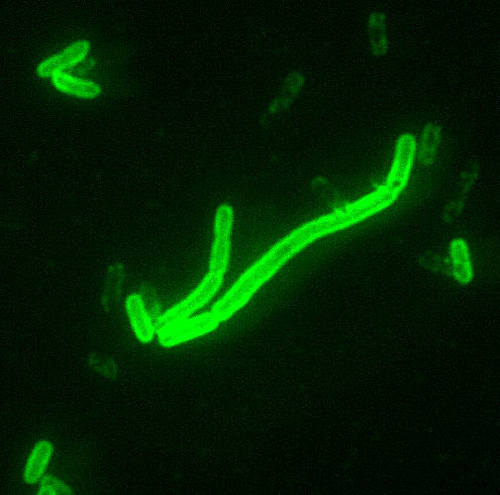 Direct florescent antibody image of yersinia pestis, the causative agent of bubonic plague.