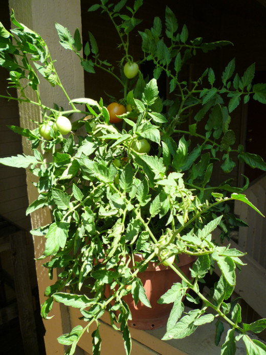 Hiding out of reach, this Heinz tomato plant was my best producer of the season. I would have supported it a bit better if the other tomato plants weren't in the way!