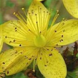 St. John's wort flower. CAM stand for complimentary and alternative medicine.