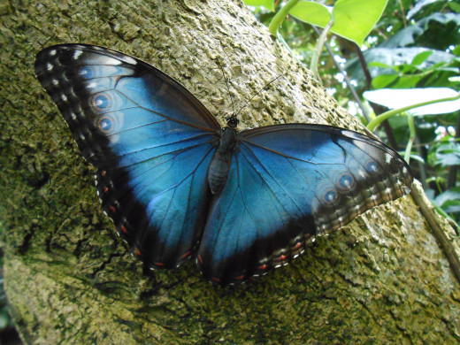 This beautiful blue morpho is taking a rest on the trunk of a tree.