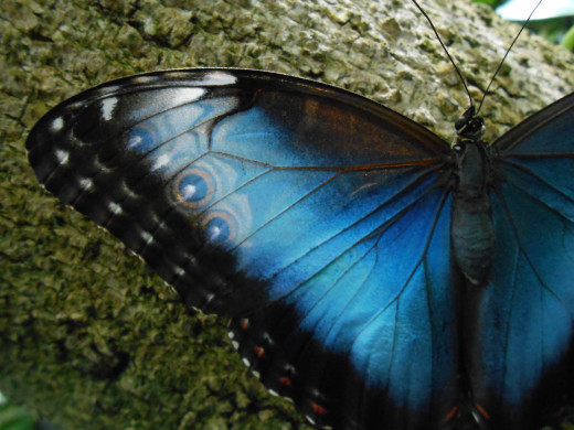 "If you look closely, you can see through the wings to the other side of this beautiful butterfly.  You can actually see the ""eye spots"", showing from the other side of the wing.  I have not seen this quite like that before I saw this one."