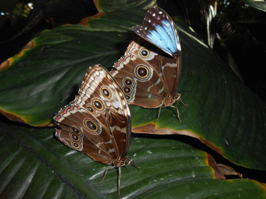 These blue morpho butterlies, while they seem so fragile, can do alright sometimes even with broken wings.  Life is still pretty fragile for them.  Part of this one butterflies defense mechanism is gone, if his blue is showing