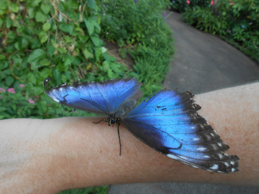 This blue morpho is resting on someone's arm.  They happened to be wearing something almost the same color, which is a good tip to remember if you want them land on you!