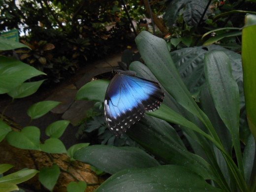 Amazing sparkling blue color on these wings.  Blue morpho butterfly resting on a leaf.