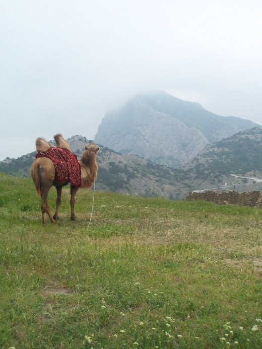 In the south of Crimea there are beautiful mountains and... camels!