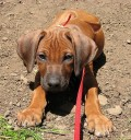 Strong African Dog Names for a Rhodesian Ridgeback