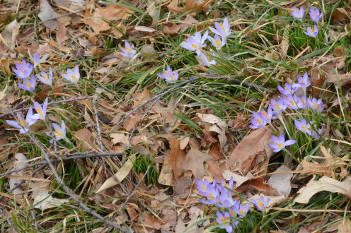 These little snow crocus flowers are from the Balkans, Hungary, Bulgaria, Serbia, and Montenegro.  These were growing in Missouri, USA.