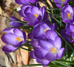 Snow Crocus Flowers - Pictures and Planting Information