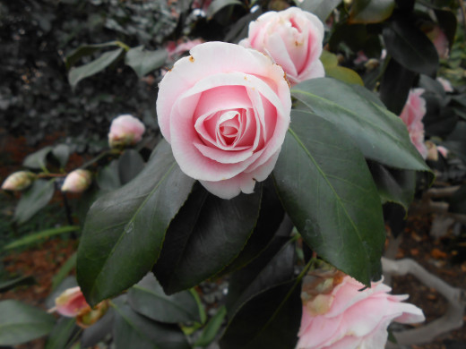 Even before they are fully open, camellias are very beautiful.