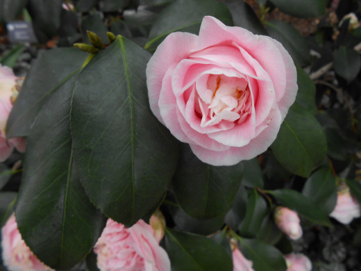 Light pink Camellia flower.