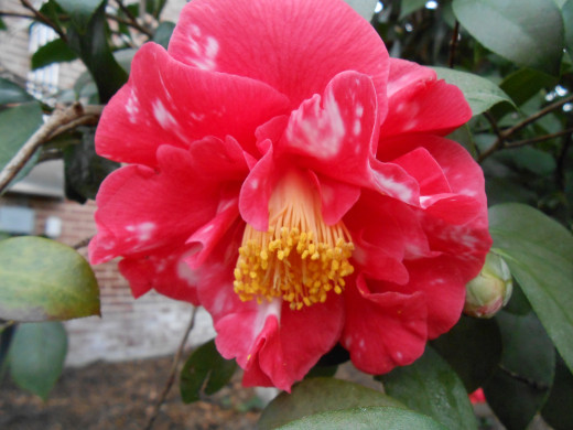 I love this camellia, with the darker pink and white on the petals. 'Guest of Honor,' Camellia Japonica.