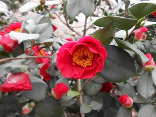 'California' Camellia