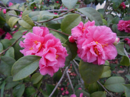 This camellia is more of a bubblegum pink, and very beautiful.