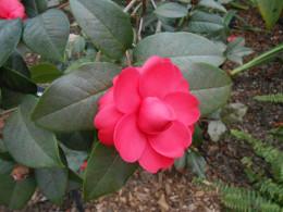 Camellia 'Jinqu' Theaceae