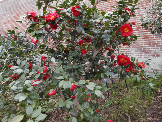 'Marc Eleven' - Camellia Japonica