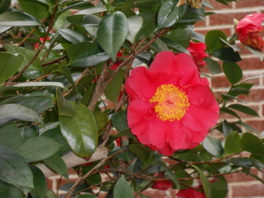 'Marc Eleven', Camellia Japonica