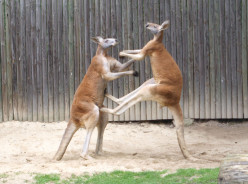 "What is the origin of the phrase, ""kangaroo court""?"