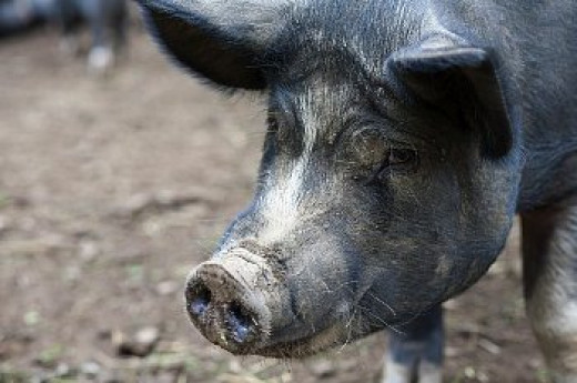 The lowly pig. Humble, peaceful. Yeaaah, right!